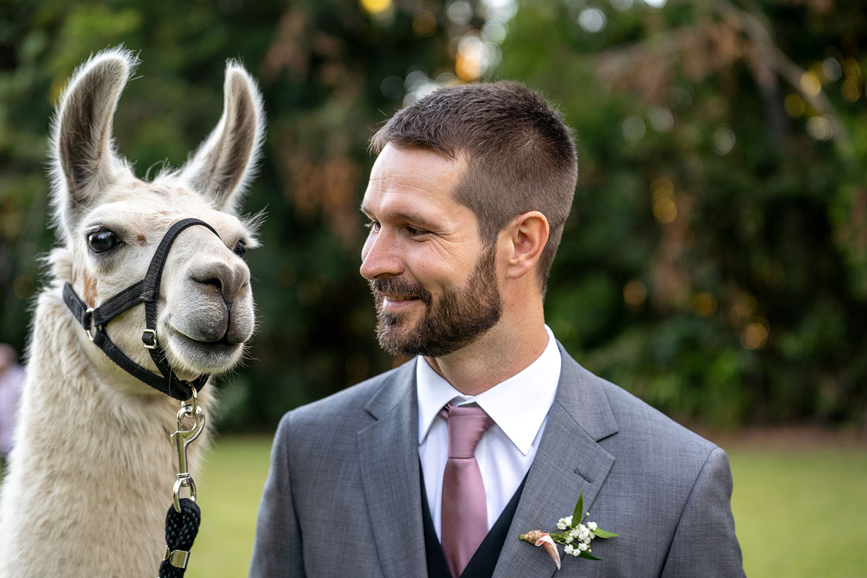 Wedding Photography - Groom with alpaca